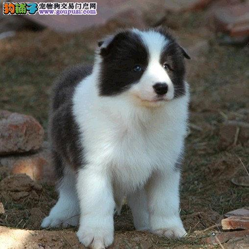 深圳林翔狗场出售边境穆羊犬 七白到位品相好有保障
