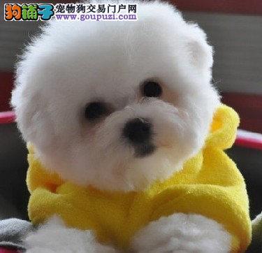 深圳买比熊犬 纯种卷毛比熊哪里买有保障 林翔狗场