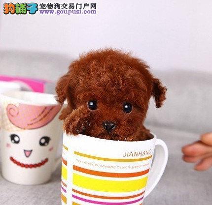 买茶杯犬找深圳林翔狗场 深圳正规大型狗场有保障