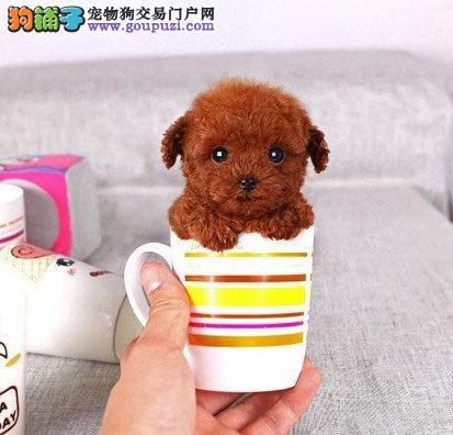 深圳狗场有卖泰迪熊 首选深圳林翔狗场 签订合同