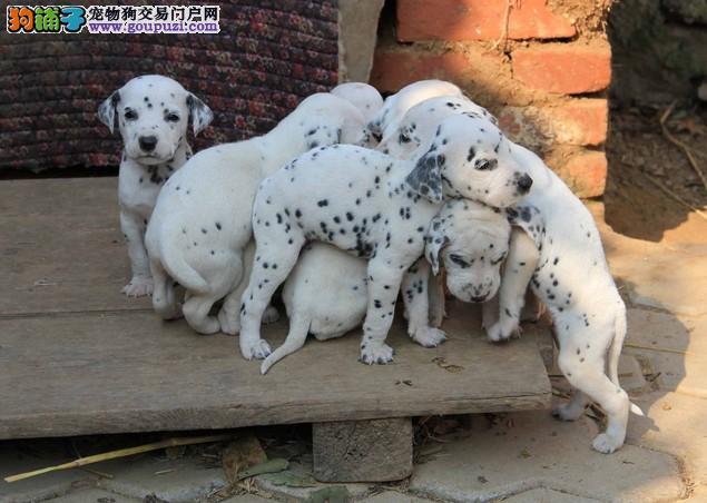 广州哪里卖斑点狗 广州什么地方批发斑点狗幼犬