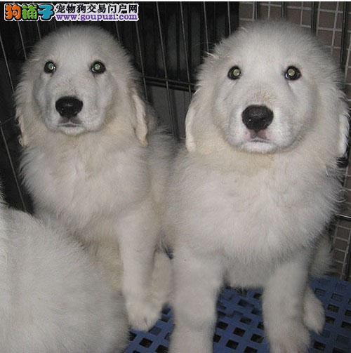 广州哪里大白熊犬 广州批发狗狗市场在哪