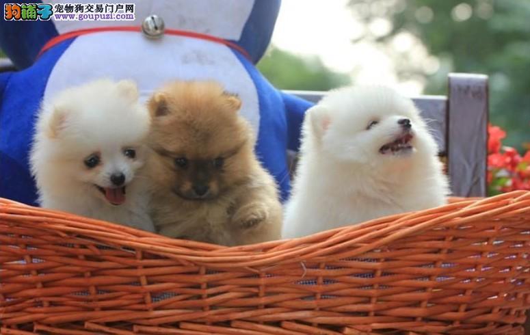 广州哪里卖俊介犬 广州哪里卖博美俊介犬 狗狗批发