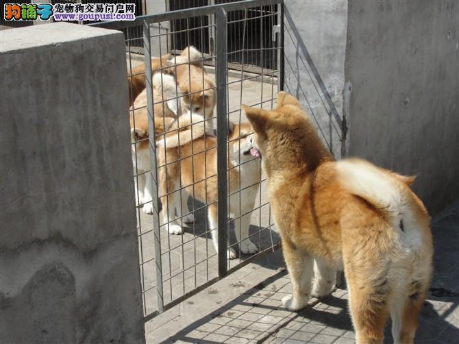 广州秋田犬狗场 广州哪里卖纯种健康便宜优惠秋田犬