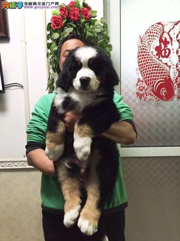 正规犬舍出售伯恩山犬。品相佳纯血统