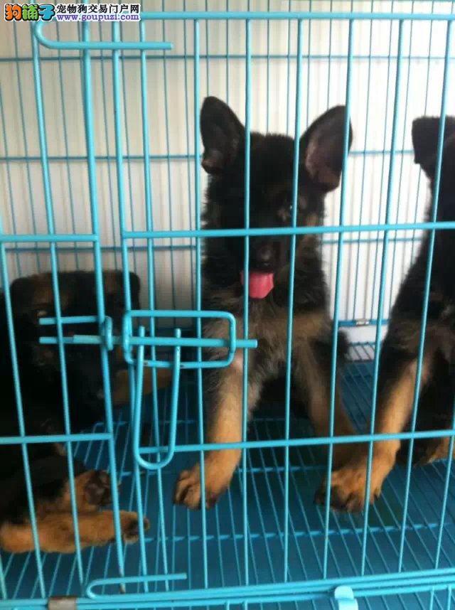 嘉定区正规犬舍买德国牧羊犬