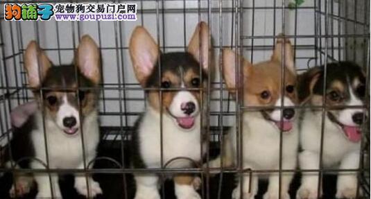 三亚买柯基三亚买纯种柯基三亚狗场出售纯种柯基幼犬