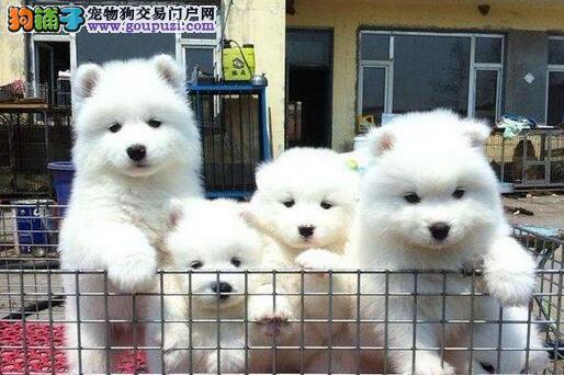 安顺卖纯种萨摩耶安顺买萨摩耶安顺狗场出售纯种萨摩耶
