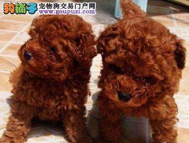 海口买泰迪海口买纯种泰迪海口狗场出售纯种泰迪幼犬