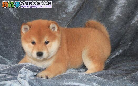 三亚卖纯种柴犬三亚买纯种柴犬三亚狗场出售纯种柴犬