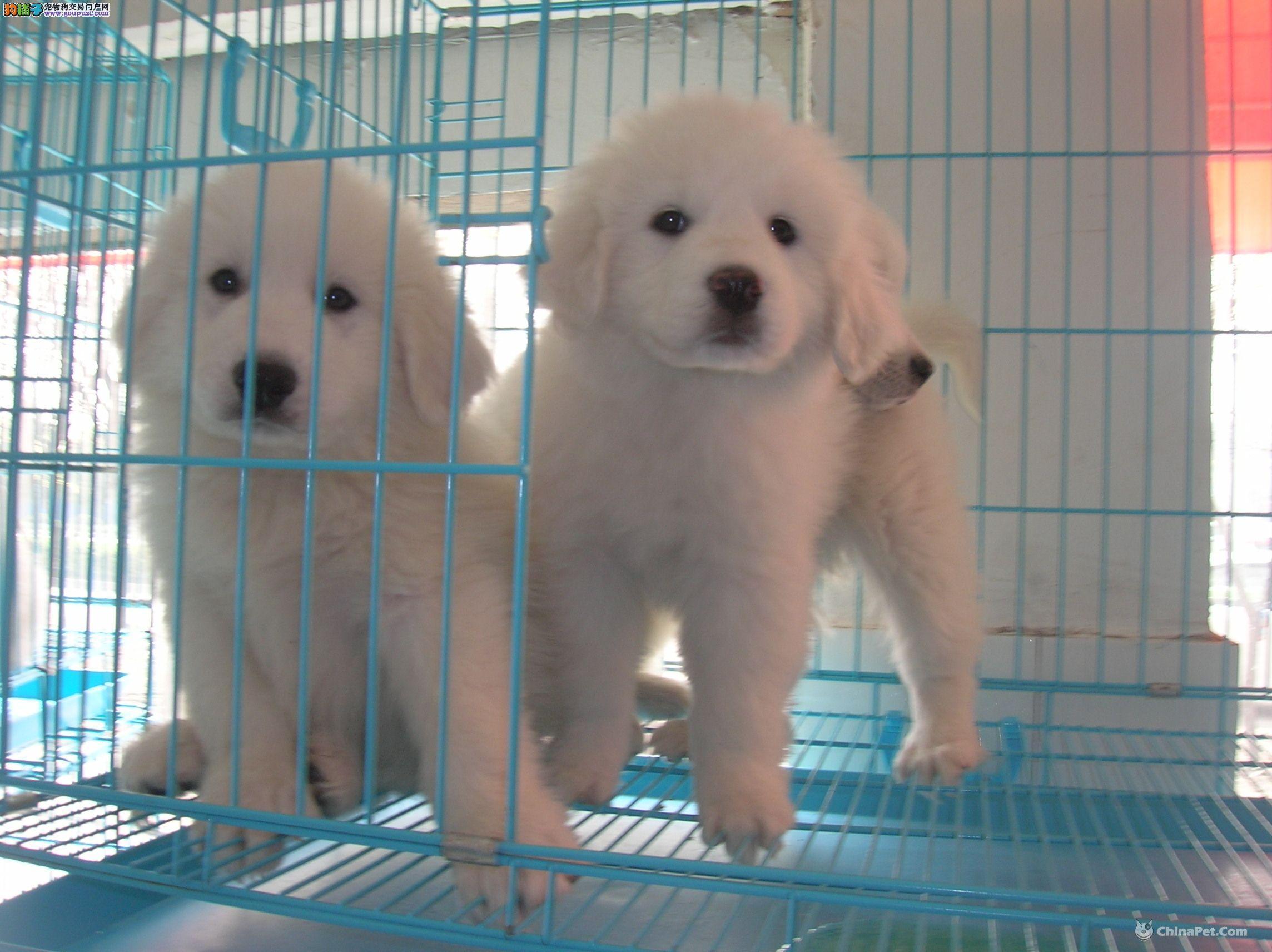 大白熊幼犬/实物拍摄大白熊犬舍