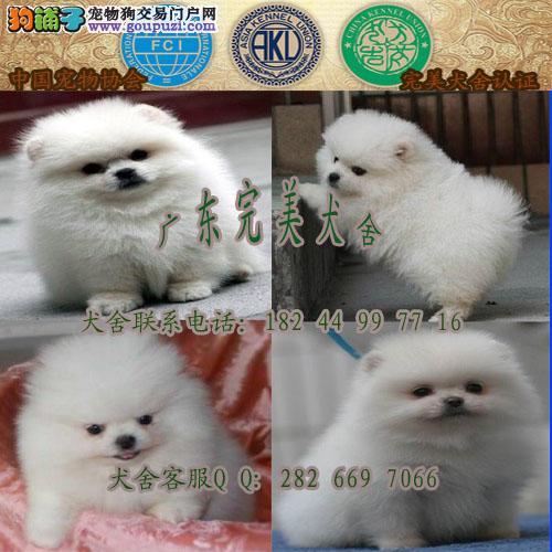广州天河哪里有卖宠物狗 广州哪里有博美买 犬舍直销
