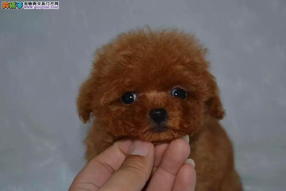 贵宾纯种泰迪犬,正规犬舍繁殖,颜色全,健康包活