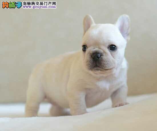 法国斗牛犬,养殖基地,出售幼犬,公母均有颜色全