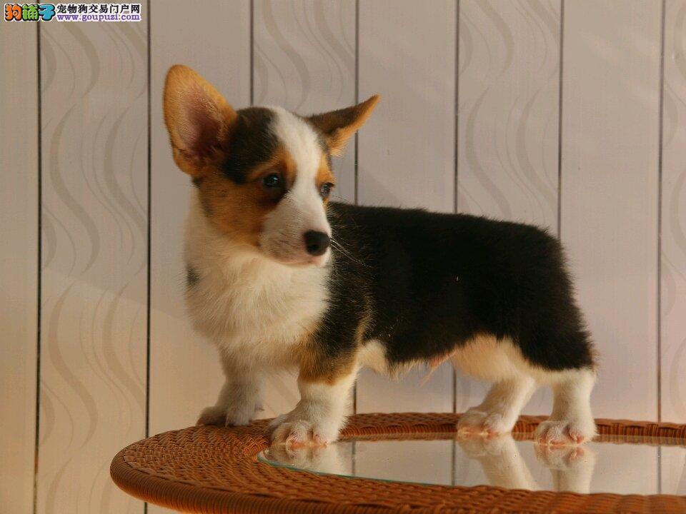柯基三色两色纯种,威尔士柯基幼犬出售