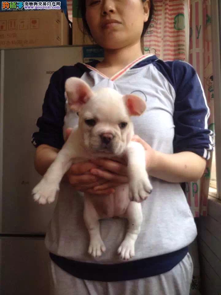 出售法国斗牛犬,正规犬舍繁殖,颜色全公母均有