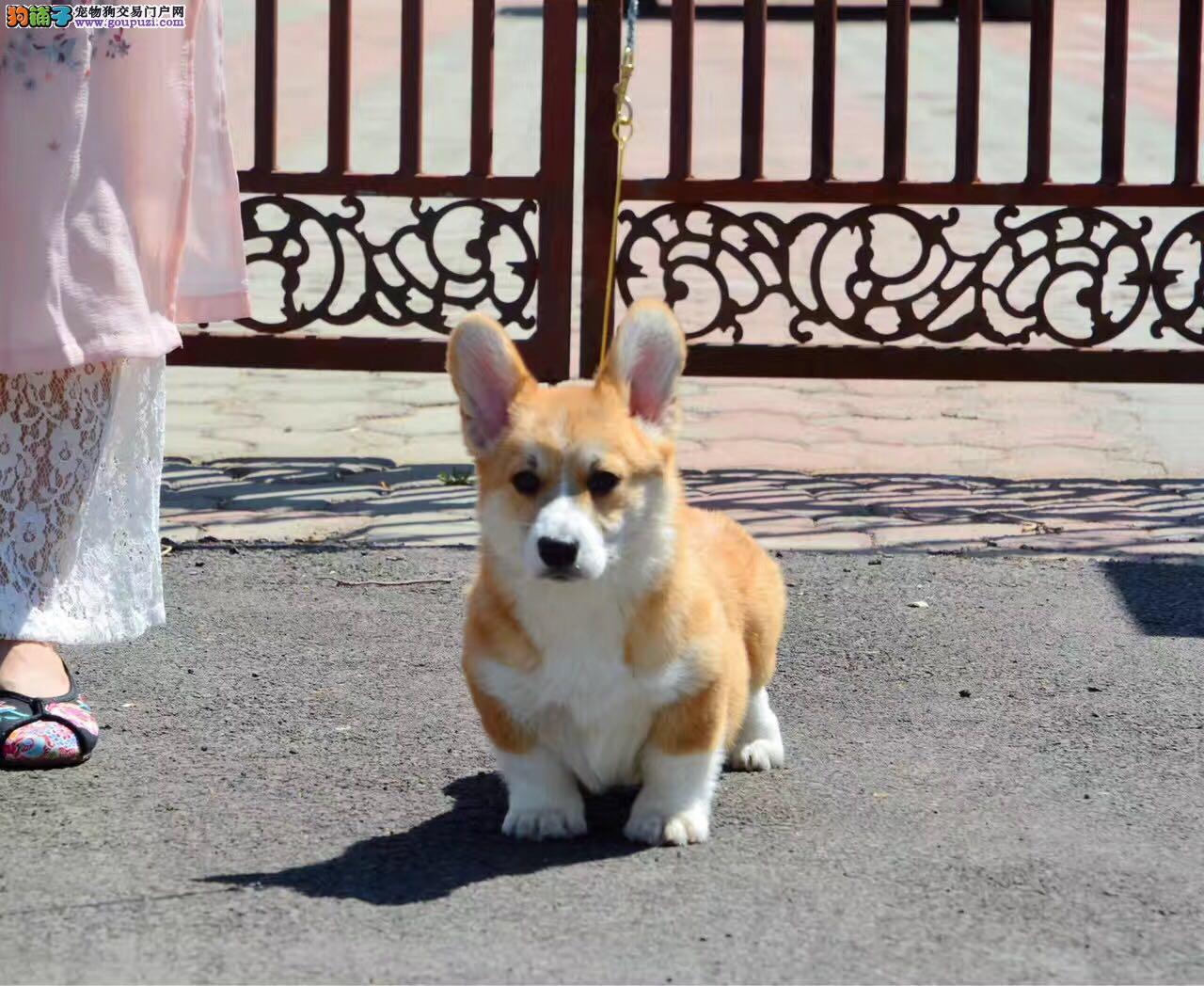 高品质双血统柯基犬 威尔士矮脚犬