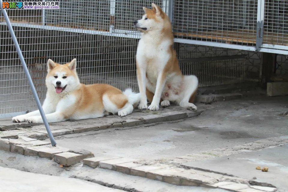 秋田幼犬普金同款,血统纯正带秋保幼犬