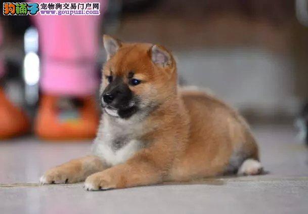 柴犬幼犬出售 实物拍摄