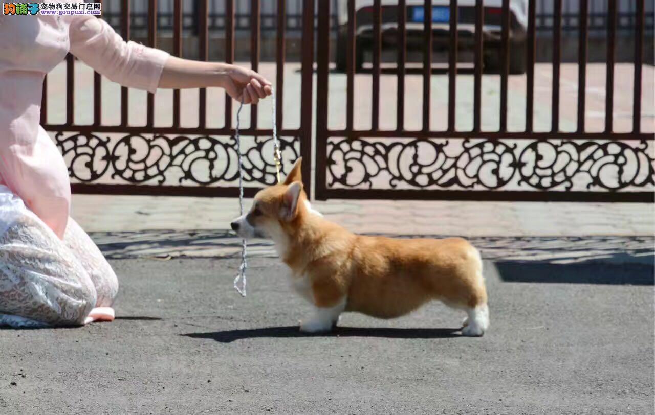 柯基犬 两色三色柯基 英国女王犬