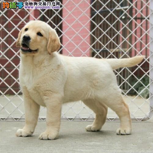 广州拉布拉多犬价格 狗场直销健康质保半年 可送货上门
