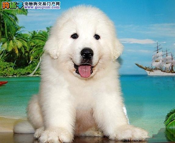 广州大白熊犬价格 狗场直销健康质保半年 可送货上门