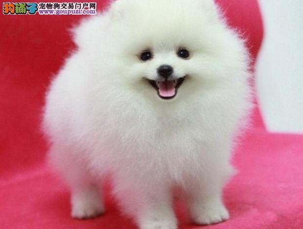 广州博美犬价格 狗场直销健康质保半年 可送货上门
