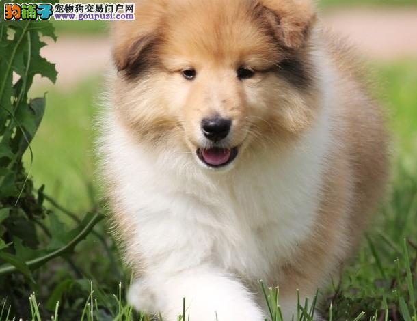 广州哪里有卖苏格兰牧羊犬 疫苗做齐 包纯种健康可送货