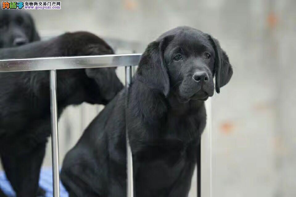 纯种拉布拉多幼犬 高品质拉多