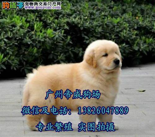 江门哪里买狗好 买纯种金毛犬有保障健康