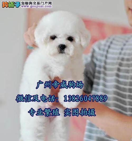 在江门上哪买比熊犬 开平区哪里卖狗价格最实惠