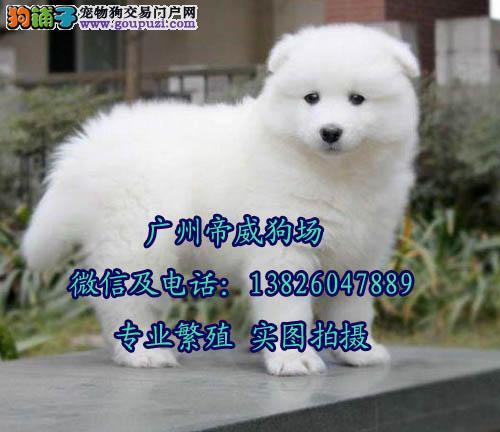 江门市买萨摩耶去哪里 新会区哪里有正规狗场