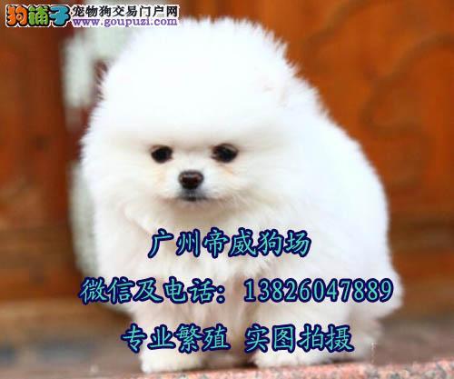 江门哪里有卖小型犬博美 纯种博美犬在哪里可以买到