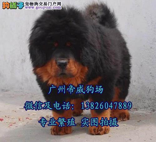 江门市藏獒价格多少 江门市什么地方有卖藏獒犬