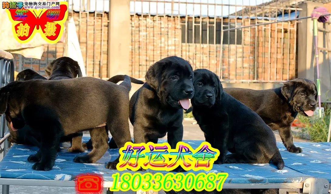 精品拉布拉多犬,赛级拉布拉多犬,正规犬舍繁殖
