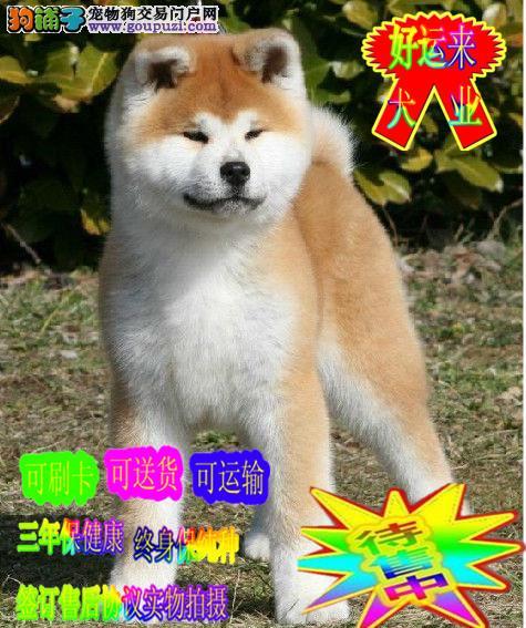 秋田犬 纯种幼犬   真实拍摄 签协议