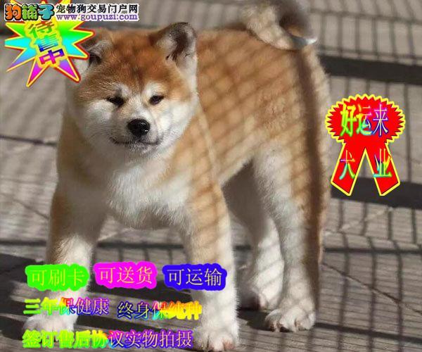 日系纯种秋田犬,可查秋保,正规养殖基地