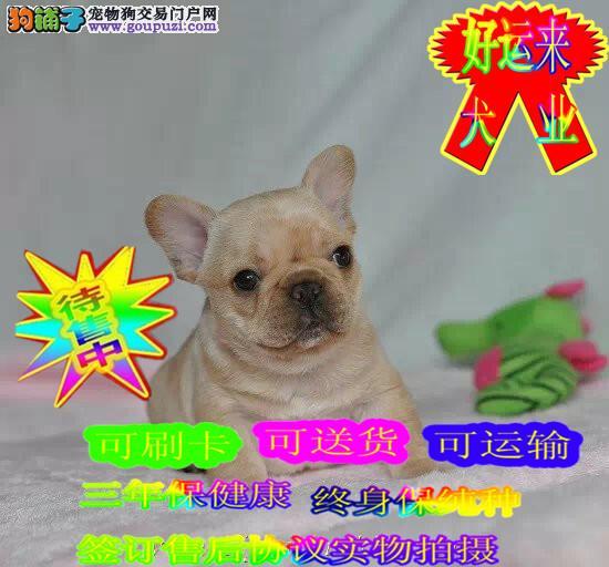 出售法斗,网络小明星,方体纯种法国斗牛犬