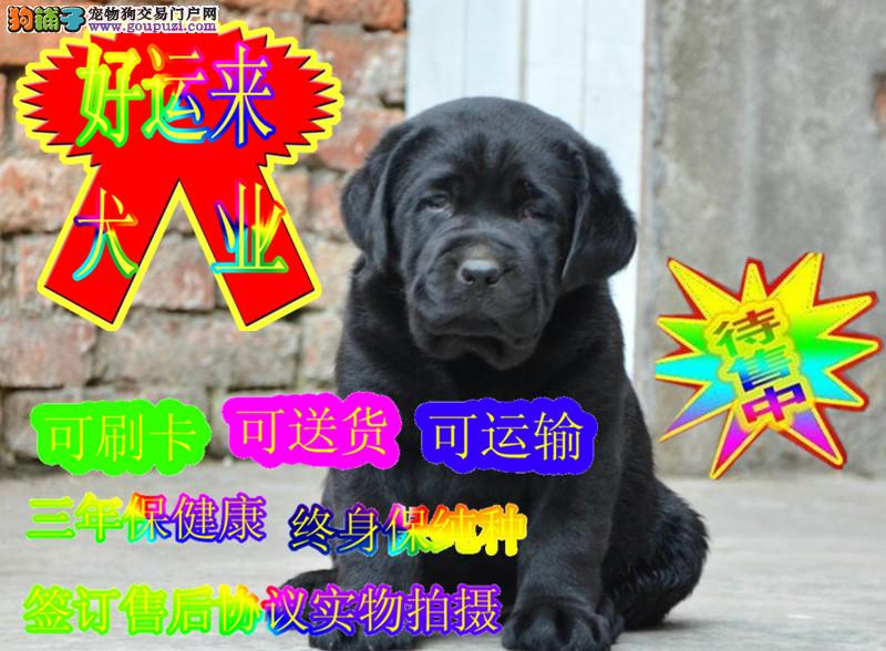 出售纯种拉布拉多犬,宽嘴大骨量,可加微信看狗