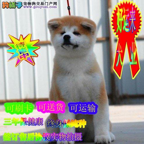 日系纯种秋田犬,专业养殖,正规犬舍