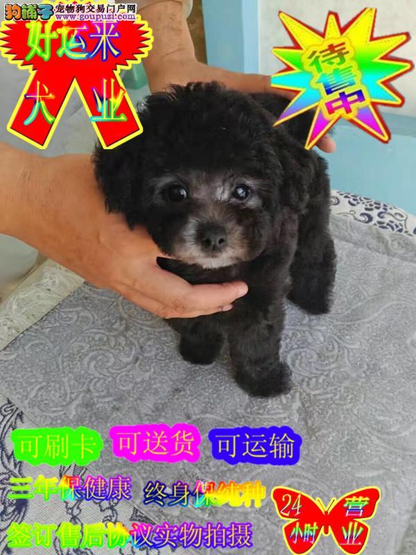 纯种泰迪犬,专业正规犬舍繁殖,公母都有健康质保