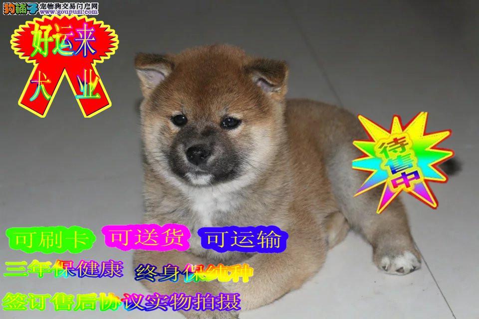 日系纯种柴犬,性格活跃,正规犬舍养殖