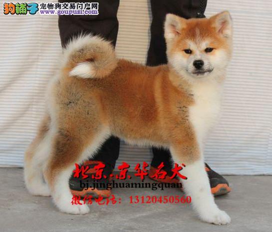 出售日系秋田犬幼犬 纯种秋田多少钱可以买到