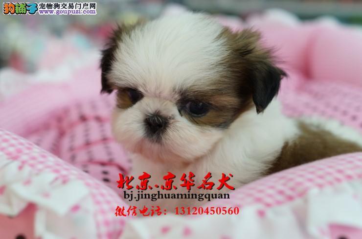 北京西施犬价格 哪里出售西施 西施好养吗