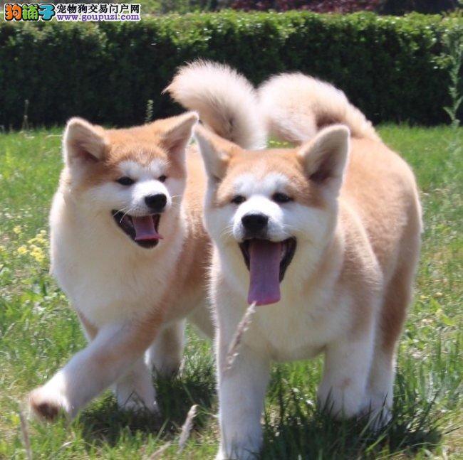纯种日系秋田犬,正规养殖纯种秋田幼犬,带证书