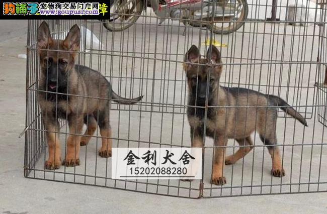 高品质纯血统马犬 健康做完疫苗 金利犬舍专业养殖