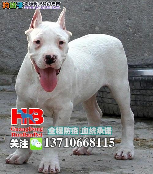在江门哪里有卖杜高犬 江门哪里有卖杜高小狗
