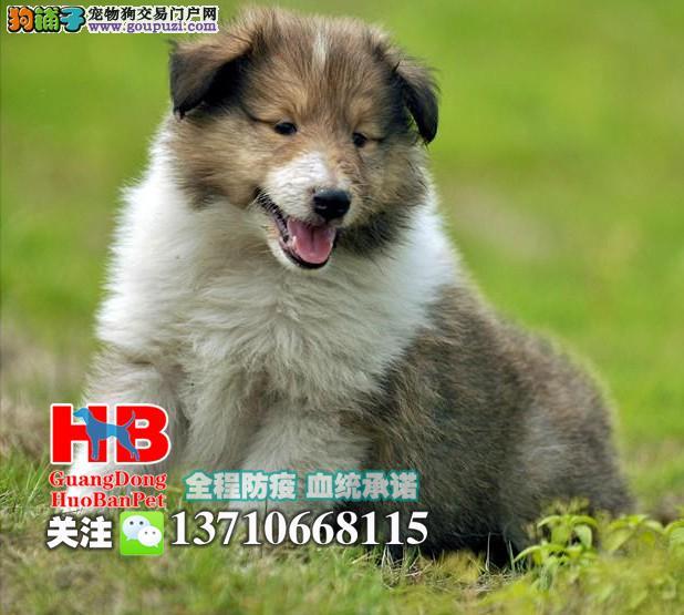深圳苏格兰牧羊犬多少钱一只 深圳哪里有卖苏牧