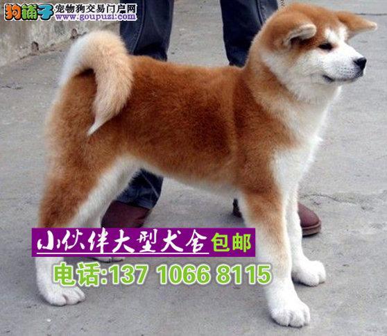 珠海哪里有卖秋田犬 珠海秋田犬纯种的价格多少一只