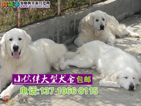深圳哪里有卖大白熊 深圳大白熊多少一只 深圳大白熊犬